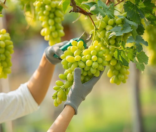Recogiendo racimo de uva