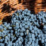 Recogida de la uva